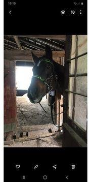 Pony sucht zuverlässigen Freizeitpartner