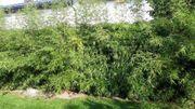 Bambus einzeln oder als Hecke