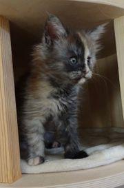 Typvolle Maine Coon Kitten aus