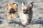 Zwei Pomeranian Rüden sofort Abgabebereit
