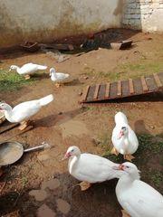 Weiße Warzen-Enten freilaufend
