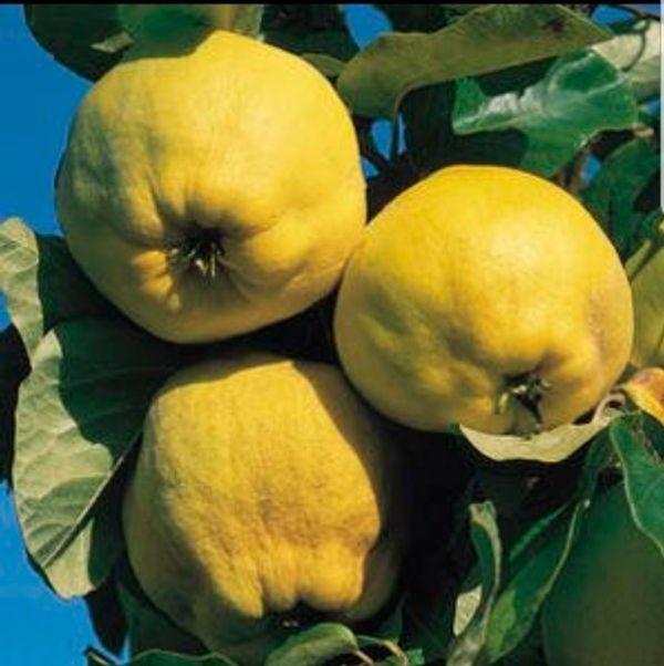 Apfel - Quitten