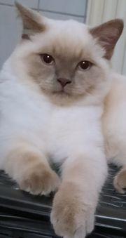 Deckkater sucht Katzendame