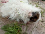 Meerschweinchen Lunkarya männlich weiblich wuschelig