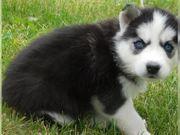 Siberian Husky Welpen sucht liebevolles