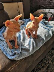 Sphinx Kitten sphynx