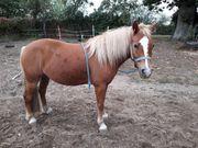 Liebe Pony Stute sucht nach