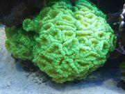 Korallen - Caulastrea furcata neongrün