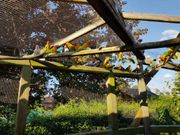 Pfirsichköpfchen Agaporniden abzugeben Unzertrennliche
