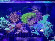 Starter- Paket Korallen Komplett inkl