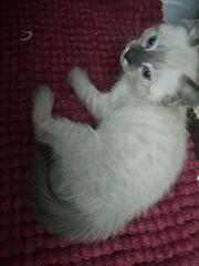 Bkh siam Kitten suchen einen