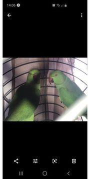 Halsbandsittich Paar mit Käfig und