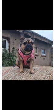 Französische bulldogge fawn Farben