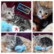 Kitten Knuffl Baby Kater geimpft