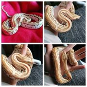 1 0 Hypo Labyrinth Tigerpython