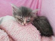 3 Türkisch Angora Babykatzen suchen