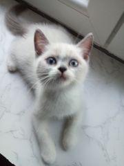 BKH Kitten dürfen ab sofort