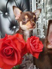 Noch 2 Süsse Chihuahua Welpen