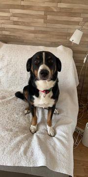 Suche Hundebetreuung für Appenzeller Sennenhund
