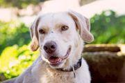 PUNCH toller Familienhund