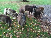 Schafe Schafherde