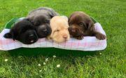 3 Labrador Welpen suchen noch