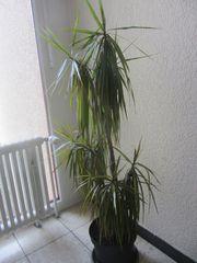 große Zimmerpflanzen - Drachenbaum - Dracaena Ficus
