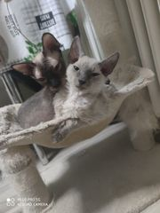 Sphynx Kätzchen