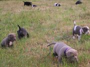 Alternativ Bulldog Welpen mit Ahnentafen