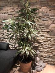 Dekorative Zimmerpflanze