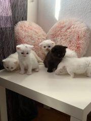 Babykatze BKH zu verkaufen