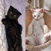 Kurzhaar MIX-Kätzchen in wenigen Wochen