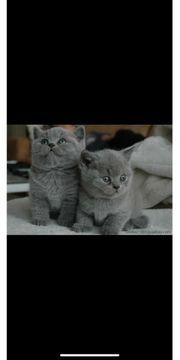 suche bkh kitten