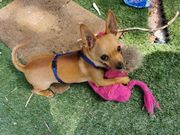 Ich bin eine Chihuahua Welpe