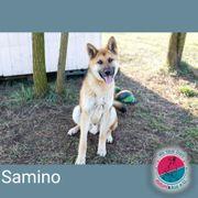 Samino- Junghund auf der Suche