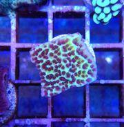 Meerwasser montipora Paket korallen