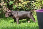 Französische Bulldogge Schoko Hündin