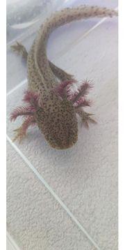 Axolotl Copper reinerbig