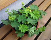 1 bis 3 Frauenmantel Pflanzen