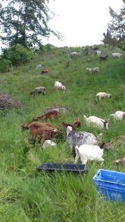 Schafe und Ziegen zu verkaufen