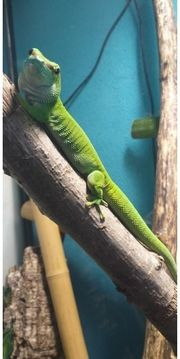 Madagaskar Taggecko Weibchen mit Terrarium