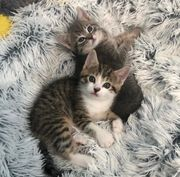 Britisch Kurzhaar Mix Kätzchen