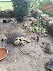 Griechische landschildkröten mit gültigen zuchtpapieren