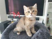 Bkh kitten Golden und Silber