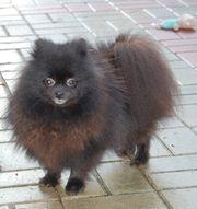 Pomeranian Zwergspitz Hündin 12 Monate