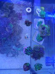 Meerwasser Korallen Ableger ab 8 -