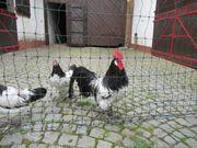 Lakenfelder Hühner