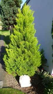 Gelbe Scheinzypresse 2 Meter