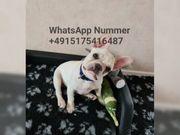 Französische Bulldogge welpen super djdj