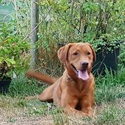 Typvolle Labrador-Hündin in dunklem foxred
